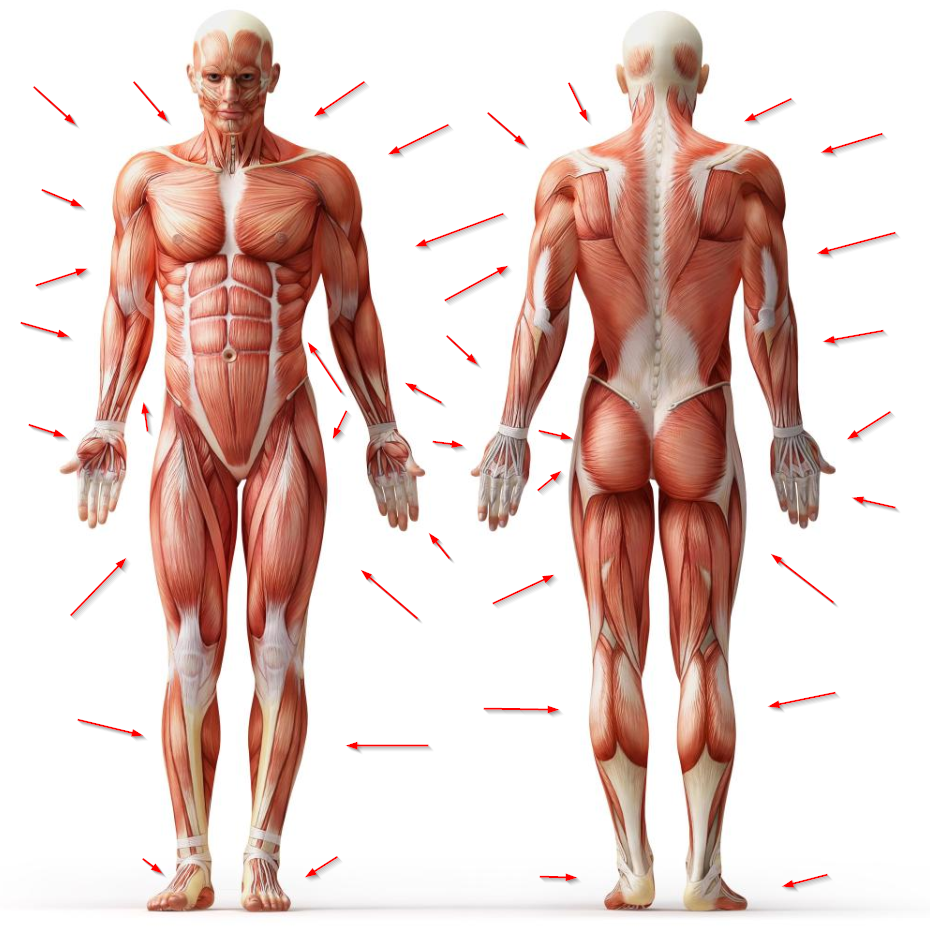 image shows which muscles are worked during the deadlift